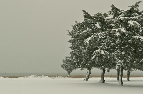 Snow on Cedars (2)