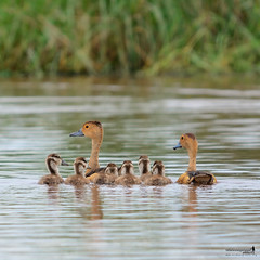 Happy Family | Lesser Whistling Duck (Sir Mart Outdoorgraphy) Tags: birds magazine education nikon photographer bokeh outdoor birding best malaysia penang indah birdwatching birder butterworth birdisland byram unik nikonian d90 migratorybirds bairam menarik nikonuser lesserwhistlingduckdendrocygnajavanica nibongtebal jurugambar penangflickr sigma150500 pulauburung sirmart outdoorgraphy penangflickrgroup pulauburong