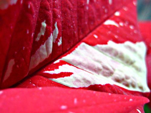 Poinsettia petal