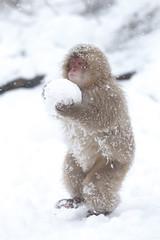 Carrying the Snow Ball (Masashi Mochida) Tags: snow japan monkey nagano jigokudani coth supershot specanimal rubyphotographer