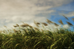 Gone with the wind (Thomas Michel) Tags: green field cane landscape republic top sugar voyeur punta cana 80 domincan filed thomasmichel vanagram