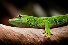 Day Gecko (ep_jhu) Tags: animal canon reptile exhibit lizard dcist gecko nationalgeographic phelsuma gekkonidae daygecko wldc