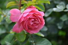 Leonardo De Vinci (wiifm) Tags: flower rose garden wellington thorndon nikond90