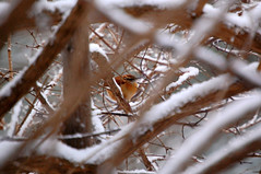 Carolina Wren (WilliamMarlow) Tags: winter snow bird birds nikon birding cc telephoto creativecommons carolinawren 55200 55200mm d40 restonvirginia nikond40 restonbirdcount