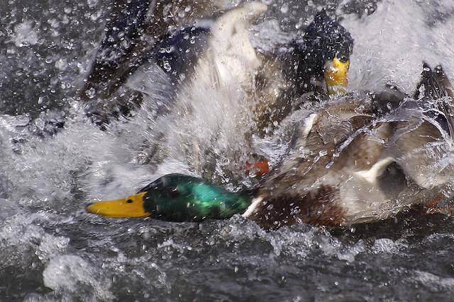duck fight3