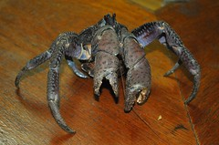 TATOS (whologwhy) Tags: coconutcrab tatos