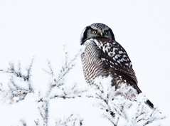 Northern Hawk Owl (midst of winter) Tags: winter hoarfrost northernhawkowl snowice