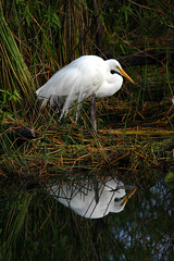 great egret.jpg
