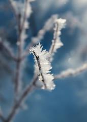 frosty (Rose and Arrow) Tags: blue winter sky plants sun ice silver frost berries bokeh frosty icy twigs