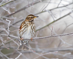 Redwing (Andrew Haynes Wildlife Images) Tags: bird nature rugby warwickshire redwing canon7d ajh2008