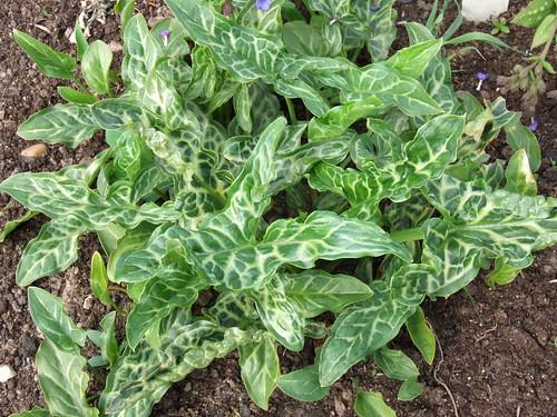 ARUM italicum ssp. italicum 'Marmoratum'