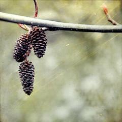 ornament (Rain City Girl {Marji}) Tags: tree green texture nature garden square three branch cone texturesquared