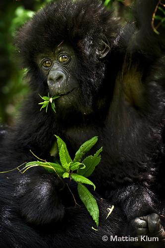 mountain_gorilla_6_Rwanda