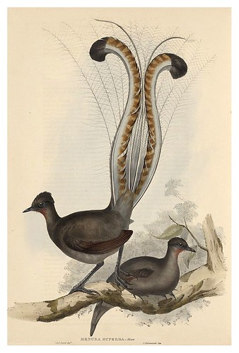 019-Pajaro Lira-The Birds of Australia  1848-John Gould- National Library of Australia Digital Collections
