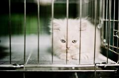 Burmese Kitten (Xiangk) Tags: pet film shop cat 35mm focus kitten minolta cage manual burmese srt101
