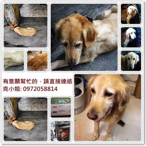 「助認養」台北從淡水水源街救援出來的黃金獵犬NICK弟弟~懇請贊助醫療資源,也徵助認養喔~謝謝您!20110118