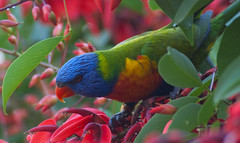 lorikeet parrot rainbowlorikeet