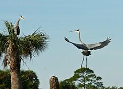 Where have you been! (dianat03) Tags: bird diana greatblueheron naturelovers vierawetlands floridaoutdoors