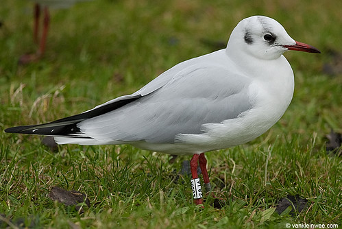 Black-headed Gull, >3cy, W[E8JA]