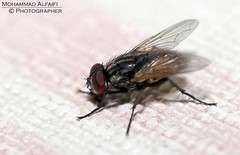 ~ Fly ~1 (Mohammad Ahmad Al faifi) Tags: macro photography fly flies       alfaifi mphammad
