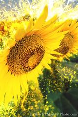 Sunflower Shimmer (KLMP) Tags: grinter kansas sunflowers sunrise lawrence ks usa photoshop action