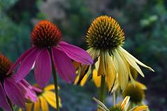 last beauties (Suzanne's stream) Tags: sonnenhut flower blumen blhen blooming yellow purple gelb lila