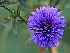 Blue Flower Macro (hbickel) Tags: flower blue macro macrolens canont6i canon photoaday pad