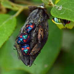 Scarborough Cemetery (Merryjack) Tags: cemetery scutelleridae jewelbugs tectocorisdiophthalmus hemiptera hibiscusharlequinbug beachhibiscus