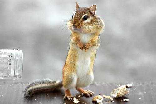 [フリー画像] 動物, 哺乳類, リス科, リス, 立っている, 201011240500