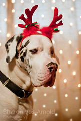 Bah Humbug ... ( Angel of light ) Tags: christmas xmas people dog pet holiday dogs festive season fun lights bokeh hound canine newyear greatdane antlers polkadots zeus dressingup getty their merrychristmas headband petportrait sadface bahhumbug walkingthedog sillyseason thespiritofchristmas reindeerantlers twitter bokehlights angeloflight2009 gettyimageswant whatgettywants gettyholidays2010 inthespritofchristmas thatsjustthewayheis heisntdepressed