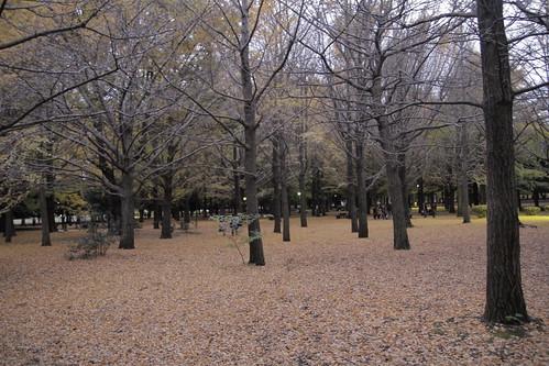 Ginkgos at Yoyogi Park