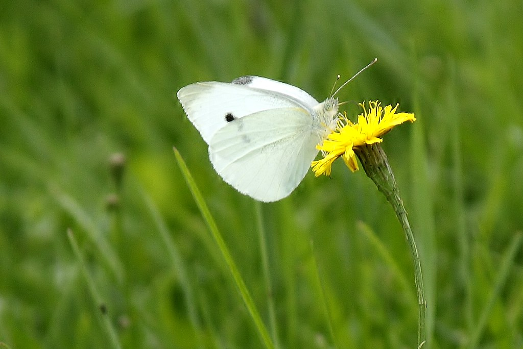 Cabbage White Butterfly (1)