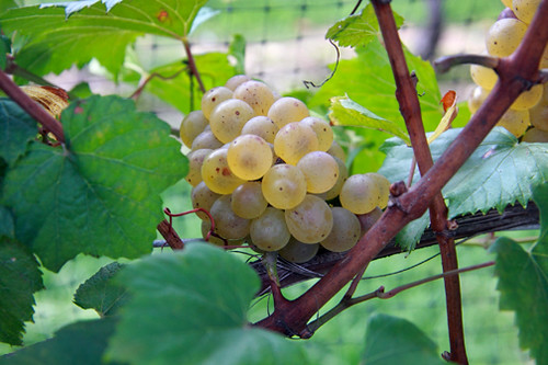 Long Island Chardonnay on the vine