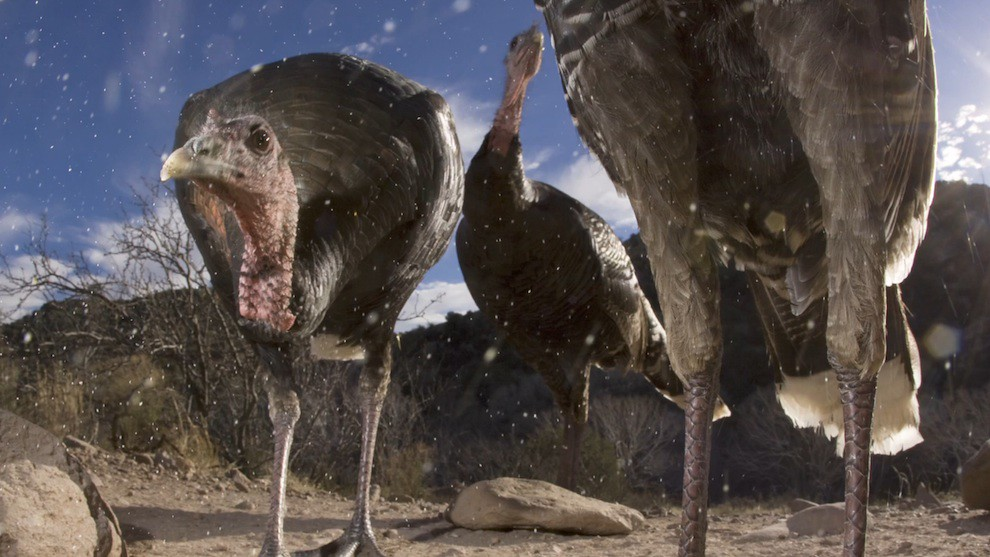 Wildlife: Turkeys at the US-Mexico wall borderlands