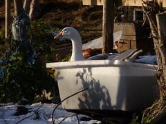 Self Basting (ceedee1) Tags: goose rivelin instantfav thewonderfulworldofbirds