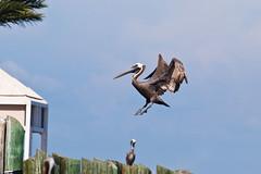 Coming in for That Perfect 2-Point Landing (Michael Huft) Tags: pelicans pelican brownpelican pelecanus pelecanusoccidentalis