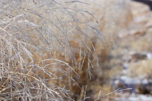 Frosty Grasses 1