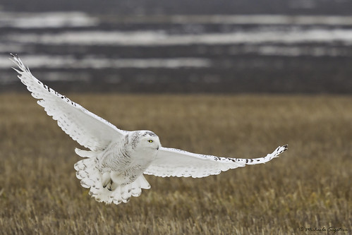 _MG_0003 Snowy Owl