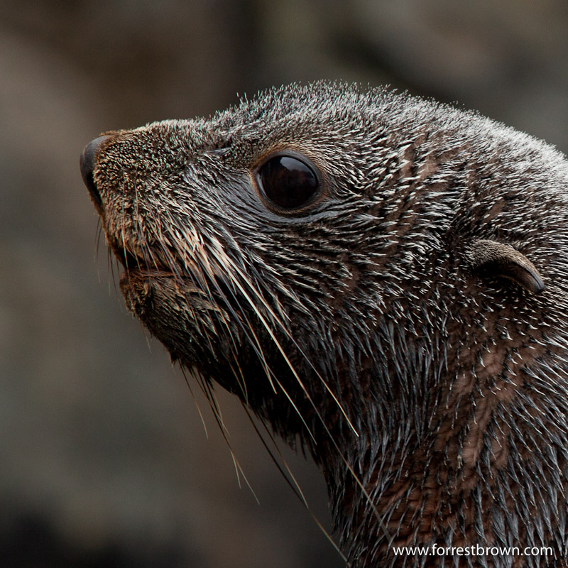 Fur Seal, South Georgia Island