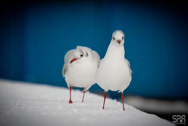 Gulls in snow 001