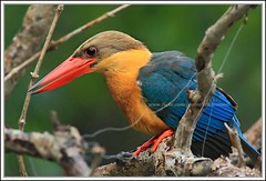 Stork-billed Kingfisher (Ericbronson's Photography) Tags: park bird nature canon interestingness singapore wildlife kingfisher pasir ris 40d storkbilled ericbronson mygearandmepremium