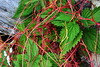 Uno strettissimo abbraccio... (cai56) Tags: verde green foglie fiori autunno colori lombardia ohhh particolare sondrio escursionismo magicofnature concordians costieracech allegrisinasceosidiventa mygearandme