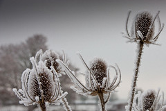 Thistles 1 (PreparTaBeBoarded) Tags: cold frozen frost frosty chilly temperature bigchill nippy plummet parky coldsnap coldspell