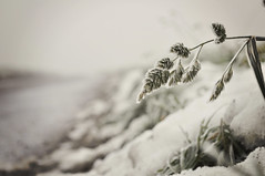Wrapped in frost {Explored fp} (Paisley patches (coming and going)) Tags: winter grass nikon frost nikkor