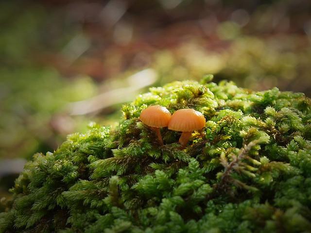 Microsetas sobre musgo