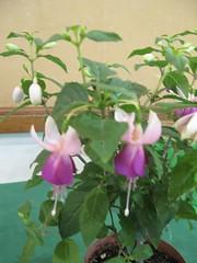 Fuchsia 'Thomas Ritchie' (pennyeast) Tags: flower botanical fuchsia capetown papaalphaecho