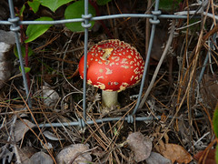 Dangerous Beauty (Room With A View) Tags: red mushroom muscaria aminita