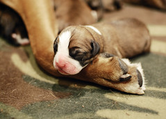 Newborn Puppies (SOMETHiNG MONUMENTAL) Tags: dog pet baby puppy paw nikon small tiny newborn boxer d60 somethingmonumental mandycrandell
