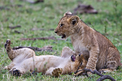 Lion Cubs Playing (Andrew Stringer) Tags: masaimara