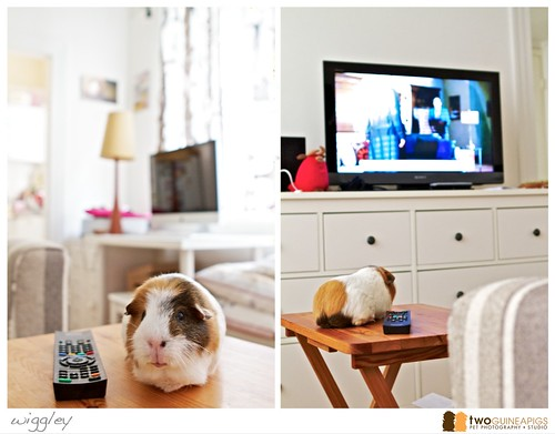 wiggley the guineapig watching television